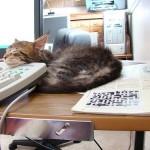 gatto-in-ufficio