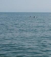 Delfini a Chioggia