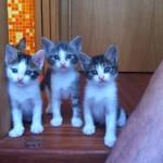 gattini chioggia
