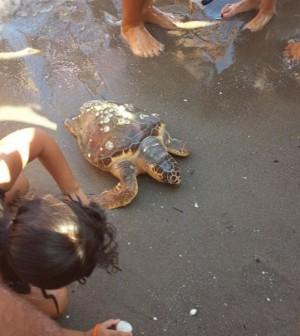 carretta tartaruga in spiaggia a Sottomarina