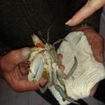 granchio blu 1