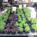 chioggia mercatini di primavera (6)