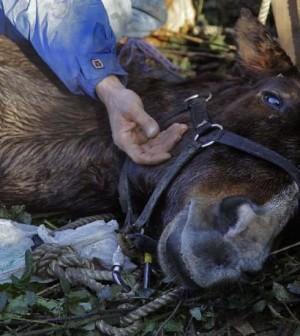 Vincenzo Livieri Ag. Toiati Via Val di Fassa. Salvataggio di un cavallo caduto nell Aniene. Per Derisi