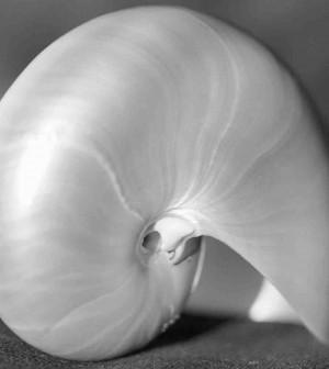 conchiglia-nautilus