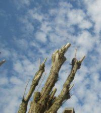 Petizione no mutilazione alberi
